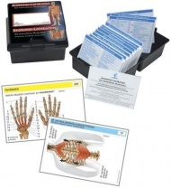 Anatomie-Lernkarten. Die menschliche Muskulatur