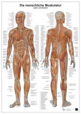 Anatomie-Lerntafel. Die menschliche Muskulatur