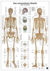 Anatomie-Lerntafel. Das menschliche Skelett
